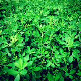 Alfalfa whitetail food plot additive