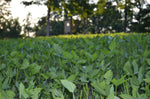 Biomass spring food plot