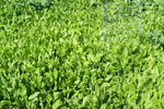 Perennial deer food plot seed  drought tolerant additive