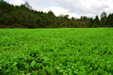 deer food plot seed, whitetail food plot seed, turnip seed, brassica food plot seed, deer radish
