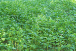 Hot Spot No-Till Food Plot Seed (1/4 acre)