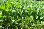 Perennial deer food plot seed  drought tolerant clovers