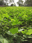 Spring annual deer food plot seed
