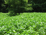 Biomass spring food plot seed
