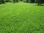 Perennial deer food plot seed , barassicas