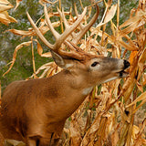 Spring annual turkey qual dove deer food plot seed non gmo corn