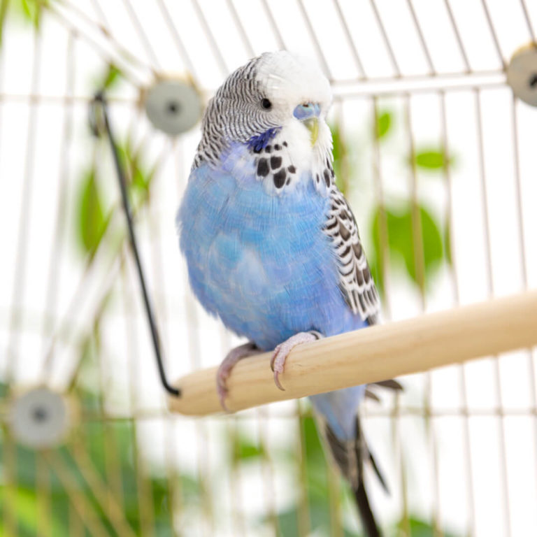 Five Reasons Why Budgies Make Such Great Pets