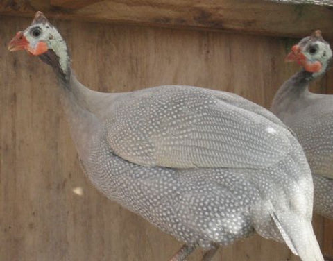 Guinea Fowl Hatching Eggs