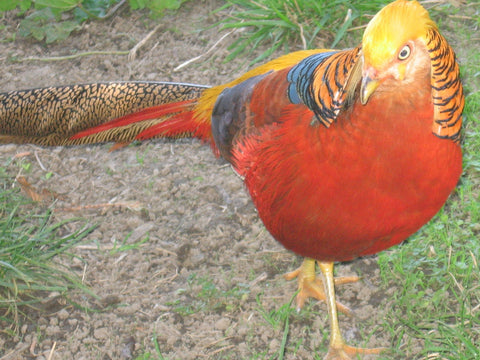 Appletons Pheasant Step On Feeder