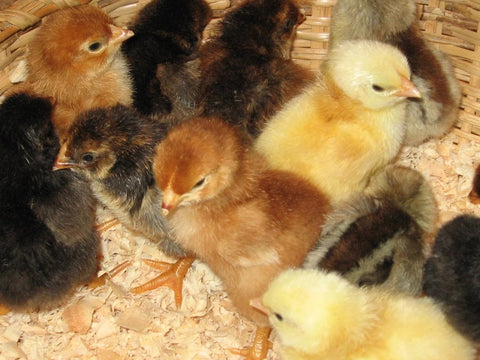 Heritage Breed Chicks