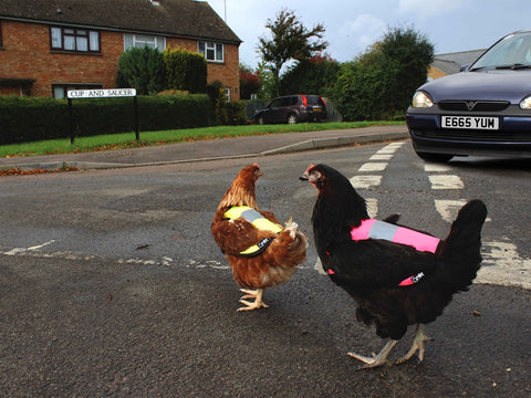 Chickens out on busy road wearing hi-vis Omlet Chicken Jackets
