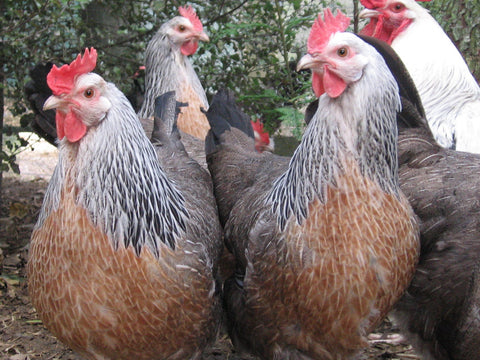 Heritage Breed Pullets