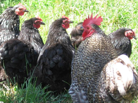Appletons Bantam Step On Feeder