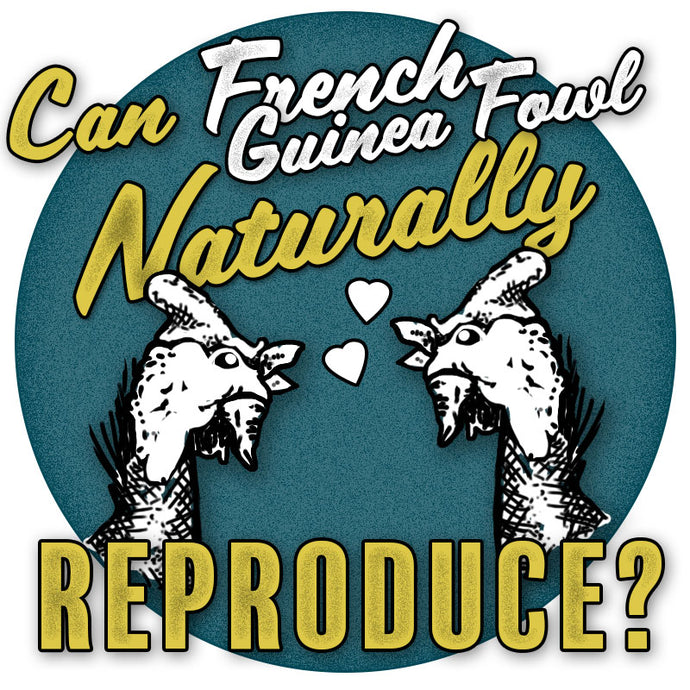 Do French (Jumbo) guinea fowl have to be artificially inseminated?