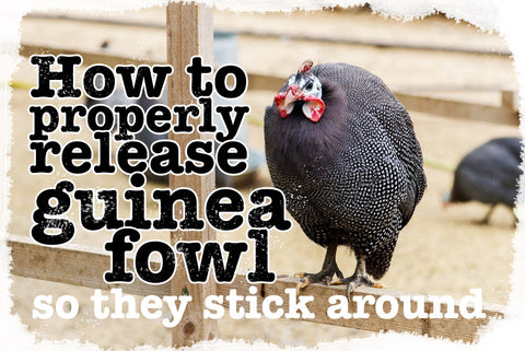 How do I release guinea fowl so they stick around my farm?