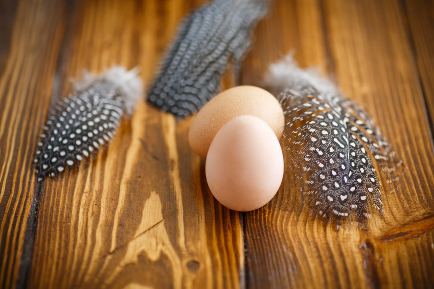When will Guinea fowl begin laying eggs