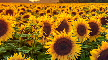How are Sunflower Seeds Grown and Harvested?