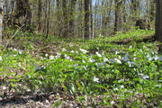 Trilliums along the trail - Scenic Caves Nature Adventures - Blue Mountains