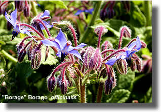 Borage (B. officinalis)| Airborne Honey