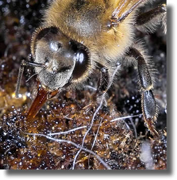 Honeydew being extracted by bee