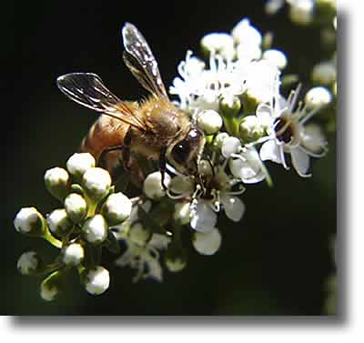 Bee collecting pollen | Airborne Honey