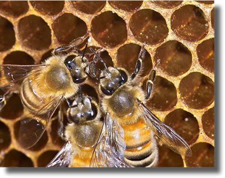 bees on a comb