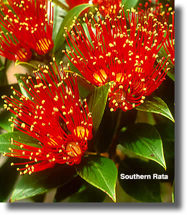 Southern Rata Flowers Close Up | Airborne Honey