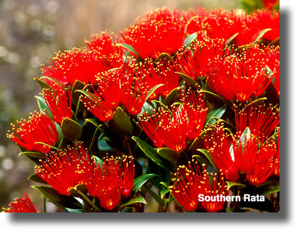 Southern Rata Flowers | Airborne Honey