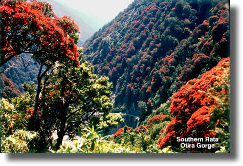 Southern Rata Otira Gorge | Airborne Honey
