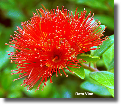 Rata Vine Flower | Airborne Honey