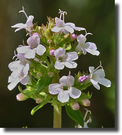 Thyme Flower - Close Up