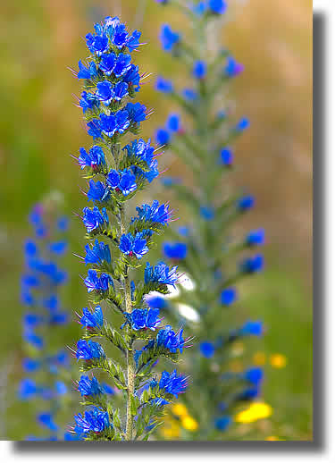 Vipers Bugloss Flowers | Airborne Honey