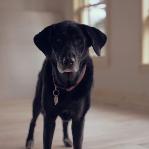 Old black lab standing up in light filled room