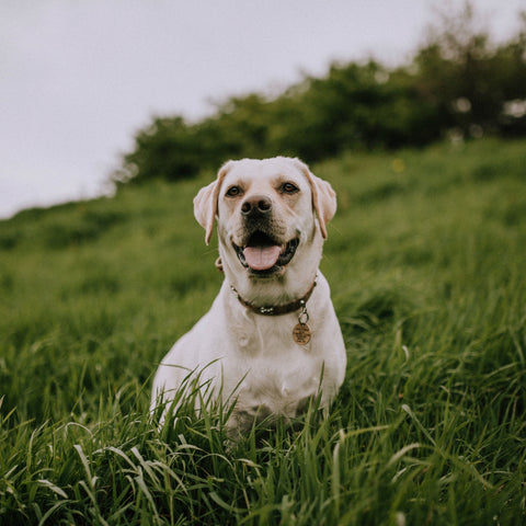 Yellow Labrador Retriever standing in tall grass