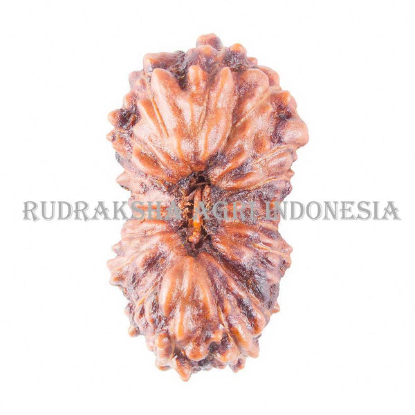 https://www.rudraksha-indonesia.com/products/18-mukhi-rudraksha-14-50mm
