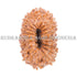 products/19_Mukhi_Rudraksha_11.50mm_19-002B_WEB.jpg