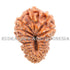 products/20_Mukhi_Rudraksha_15.30mm_20-001B.jpg