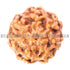 products/7Mukhi7-00817-90mmbweb.jpg