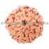 products/9MukhiRudraksha_9-003B_WEB.jpg