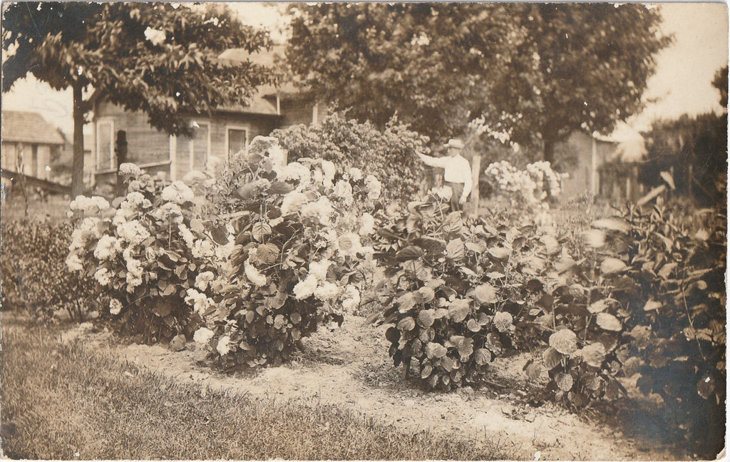Annabelle Hydrangea Garden Antique Photo RPPC