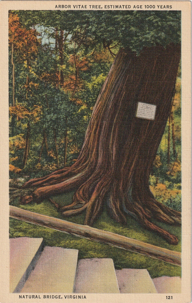 Arbor Vitae Tree Natural Bridge Virginia Vintage Postcard