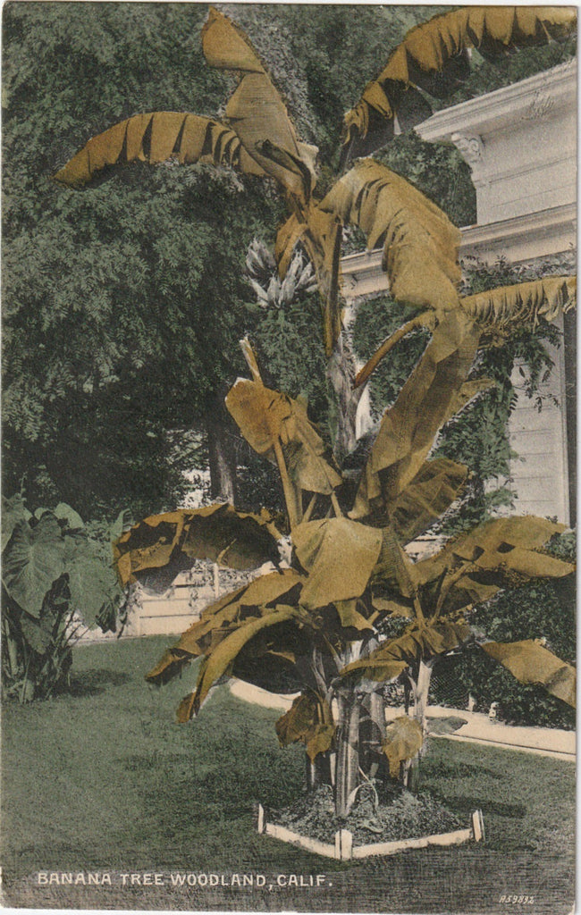 Banana Tree Woodland CA Antique Postcard