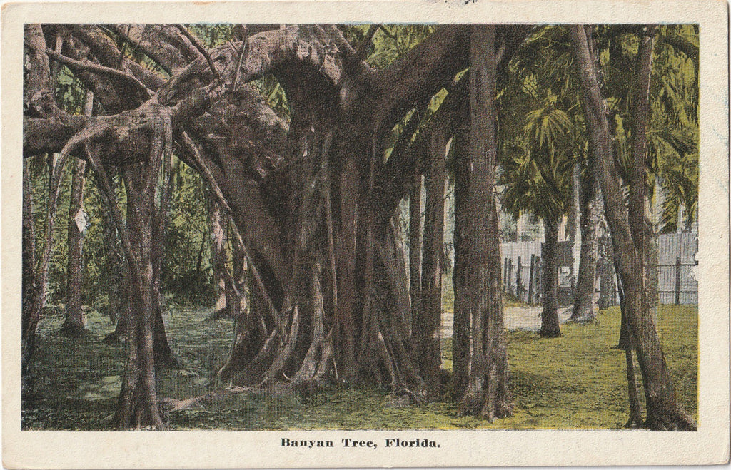 Banyan Tree Florida Postcard