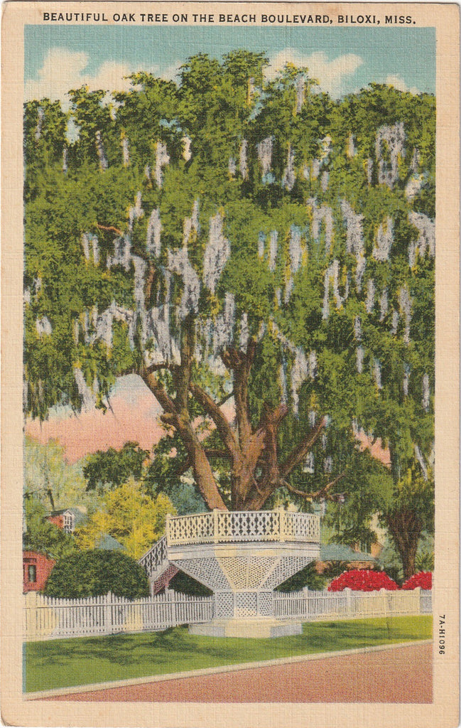 Beautiful Oak Tree on the Beach Boulevard Biloxi Mississippi Postcard