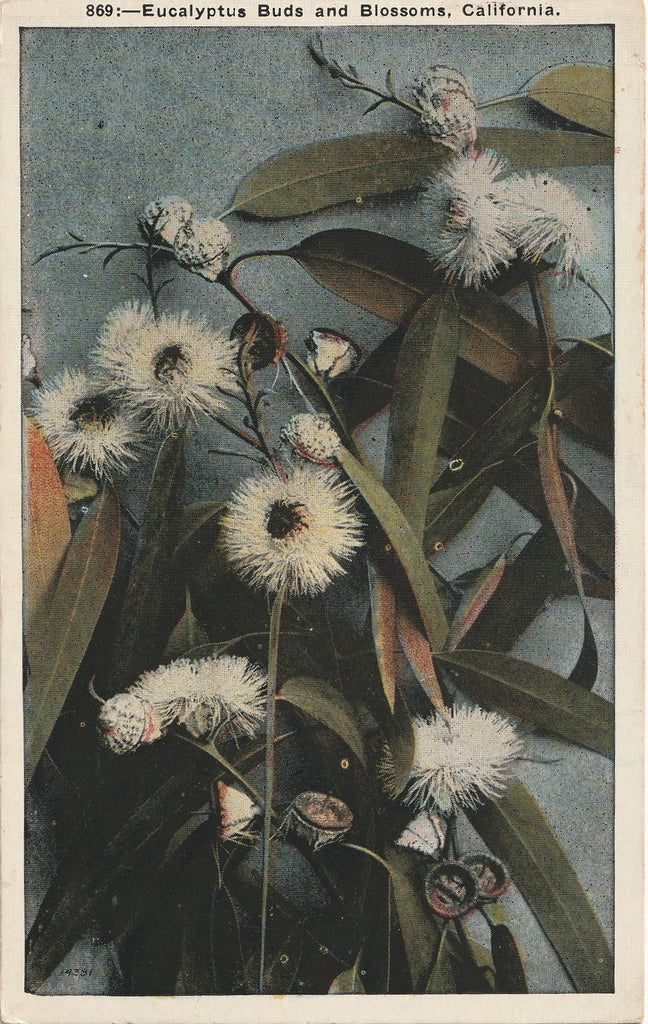 Eucalyptus Buds and Blossoms California Vintage Postcard