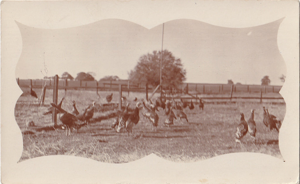 Flock of Turkeys Edwardian Farm RPPC