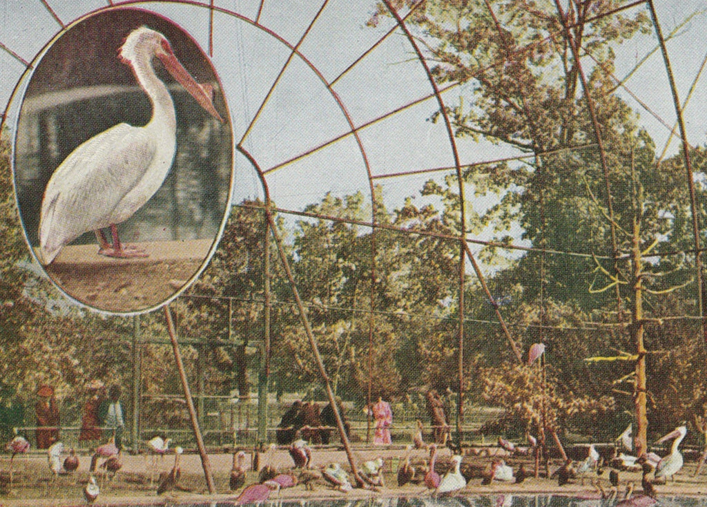 Pelican Flying Cage New York Zoological Park Postcard Close Up 2