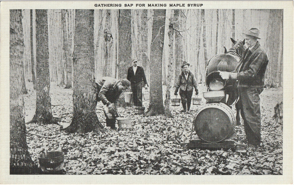 Gathering Sap for Making Maple Syrup Vintage Postcard