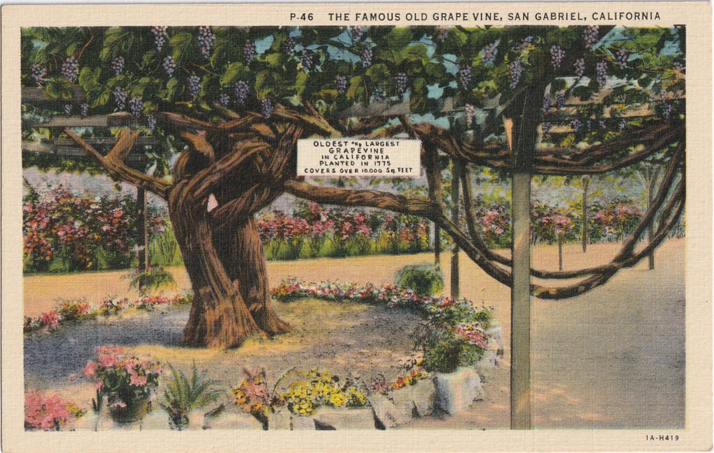 Grape Vine San Gabriel CA Vintage Postcard