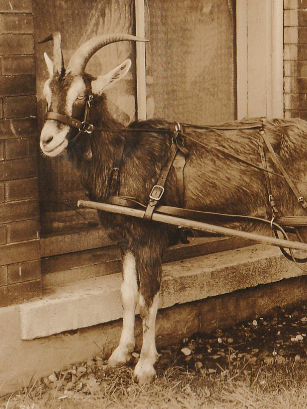 Horned Goat Cart Vintage Photo Close Up 3